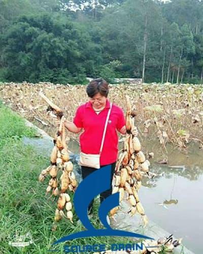 莲藕丰收的季节客户发来收获的成果